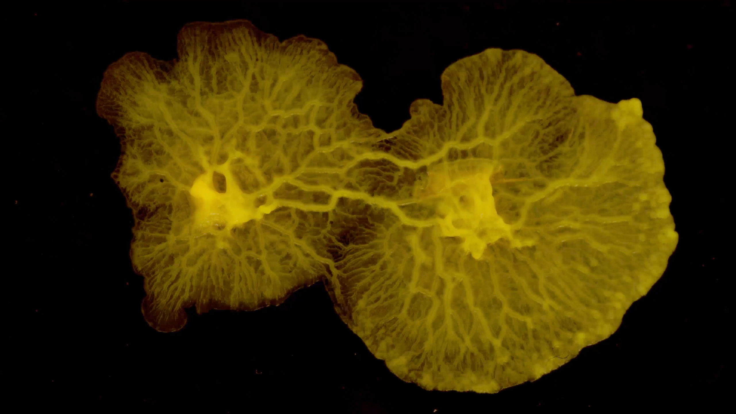 a close up of growing yellow slime molds