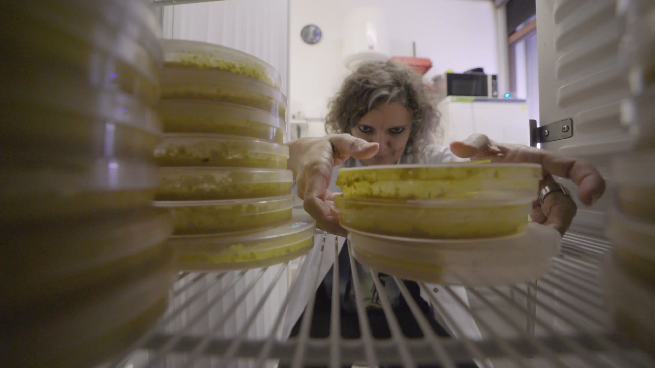 a scientist grabs a stack of petri dishes filled with yellow slime mold from an incubator